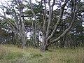 Bosque de Lengas, Estrecho de Magallanes - panoramio.jpg