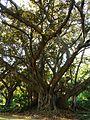 Botanique - Jardin d'essai El Hamma - Alger.JPG