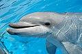 Bottlenose Dolphin (1498971217).jpg