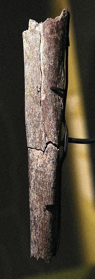 Boxgrove Man - Tibia from Boxgrove