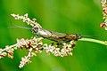 Brachycentrus.montanus.couple.jpg