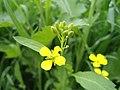 Brassica flower.jpg