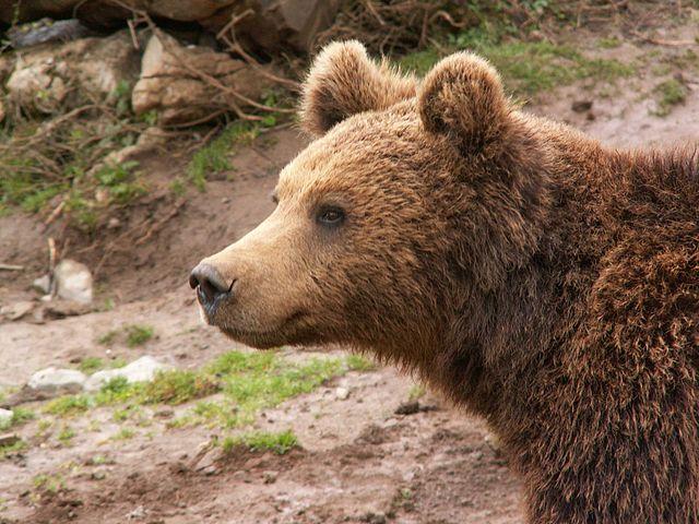 Bärenrefugium von Kuterevo