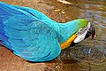 Brazil-01637 - Blue and Yellow Macaw (48995473607).jpg
