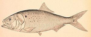 Menhaden Taxidermy Fish replicas