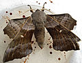 British Moths - Poplar Hawkmoth - Laothoe populi 2.jpg