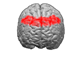 Brodmann area 8 - Image of brain with Brodmann area 8 shown in red