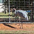 Brolga at Boulia Wildlife Haven Herbert St Boulia Queensland P1030319.jpg