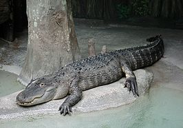 Mississippialligator (Alligator mississippiensis)