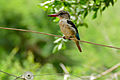 Brown-hooded Kingfisher (Halcyon albiventris) (16715385775).jpg
