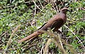 Brown Cuckoo-Dove (Macropygia phasianella) (31247030151).jpg