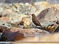 Brown Dipper (Cinclus pallasii) (44240368664).jpg
