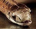 Brown Snake, U, Sde, MD, PG County 2013-08-05-16.58.29 ZS PMax (9446048309).jpg