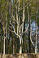 Buche im Gespensterwald.jpg