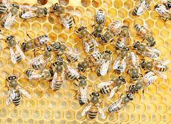 Honung Wikipedia