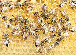 Buckfast Hybrid Bee | RM.