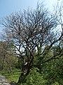 Buda Arboreta. Upper garden. Cigartree (Catalpa bignonioides). - Budapest.JPG