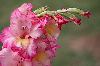 Budding pink gladiolus.jpg