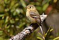 Buff-breastedFlycatcher-30APR2017.jpg