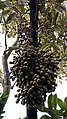 Bunga durian siang.jpg