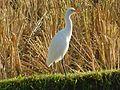 Burung putih.jpg