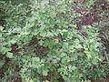 Bush not poison oak.JPG