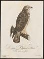Buteo vulgaris - 1800-1812 - Print - Iconographia Zoologica - Special Collections University of Amsterdam - UBA01 IZ18200033.tif