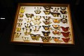 Butterfly collection (40194598571).jpg