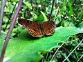 Butterfly hidden between grass - Caracas, Venezuela.jpg