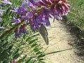 Butterfly on flower (3597342701).jpg