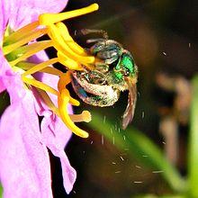 Curiously Honey bee vibrator