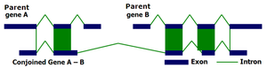 Conjoined gene - Image: CG Def 1