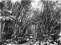 COLLECTIE TROPENMUSEUM Bamboebos bij de begraafplaats van het paleis te Buitenzorg Java TMnr 10011470.jpg