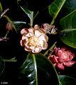 CSIRO ScienceImage 1104 Idiospermum australiense.jpg