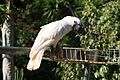 Cacatua moluccensis -Monkey Zoo Park -Tenerife-6a.jpg