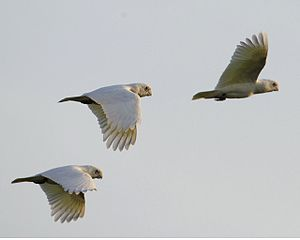 Mary River (Northern Territory) - Little Corellas flying at Mary River National Park