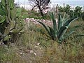 Cactaceas. - panoramio.jpg