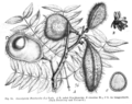 Caesalpinia bonduc Taub94.png