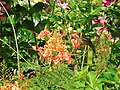 Caesalpinia pulcherrima (Inflorescence).jpg