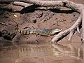 Caiman crocodilus, jacaré.jpg