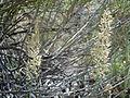 Calamagrostis montanensis (6170249525).jpg