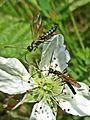 Calameuta filiformis (Cephidae sp.), Arnhem, the Netherlands - 2.jpg