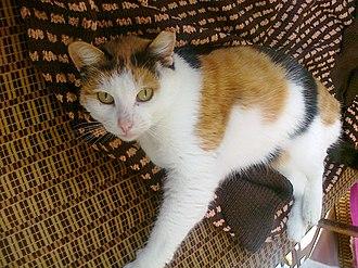 Calico cat - Calico cat
