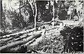 California tanbark oak (1911) (14762652374).jpg