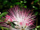 Calliandra brevipes 12