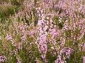 Calluna vulgaris 003.jpg