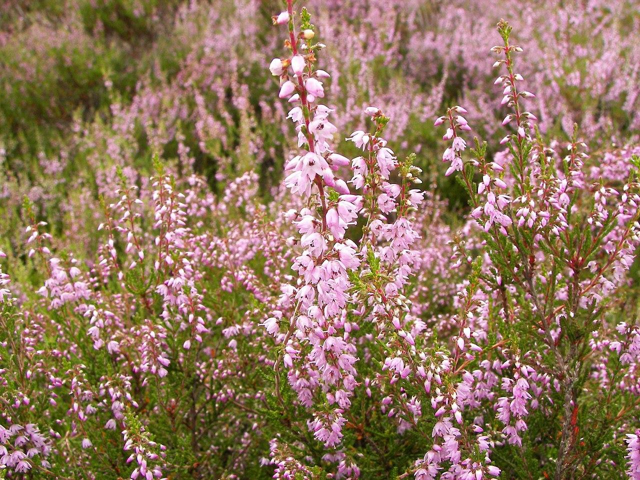 File calluna vulgaris wikimedia commons for Calluna vulgaris