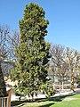 Calocedrus decurrens (Jardin des Plantes de Paris).jpg