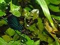 Calopteryx IMG 5507.jpg