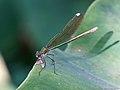 Calopteryx splendens 04.JPG